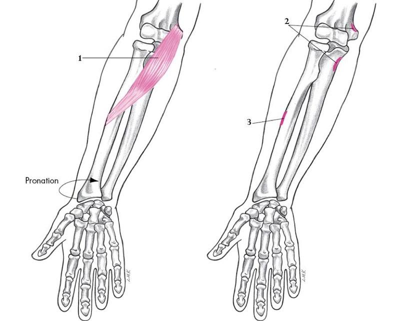 Anatomie fonctionnelle humaine Pronat10