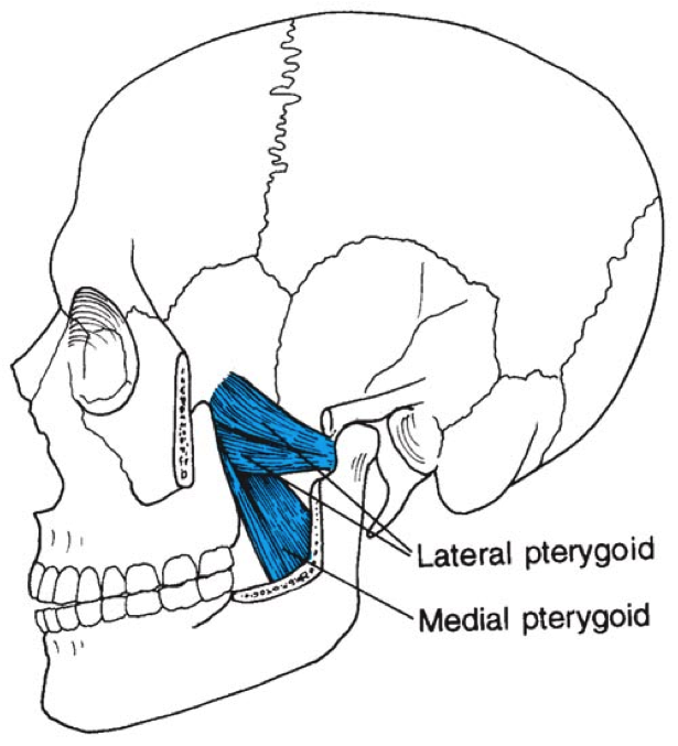 Anatomie fonctionnelle humaine Pteryg10