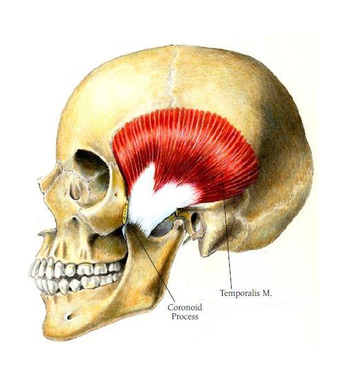 Anatomie fonctionnelle humaine Temp-110