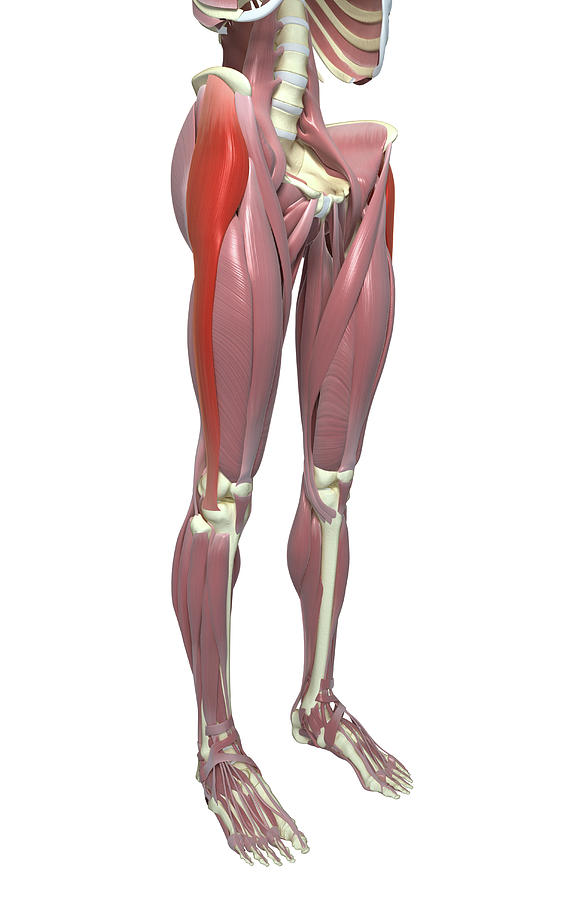 Anatomie fonctionnelle humaine Tensor10
