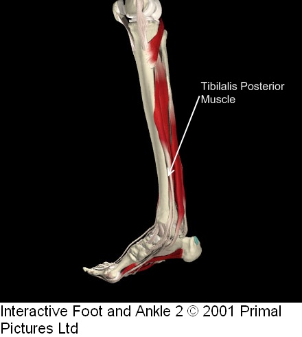 Anatomie fonctionnelle humaine Tibial10