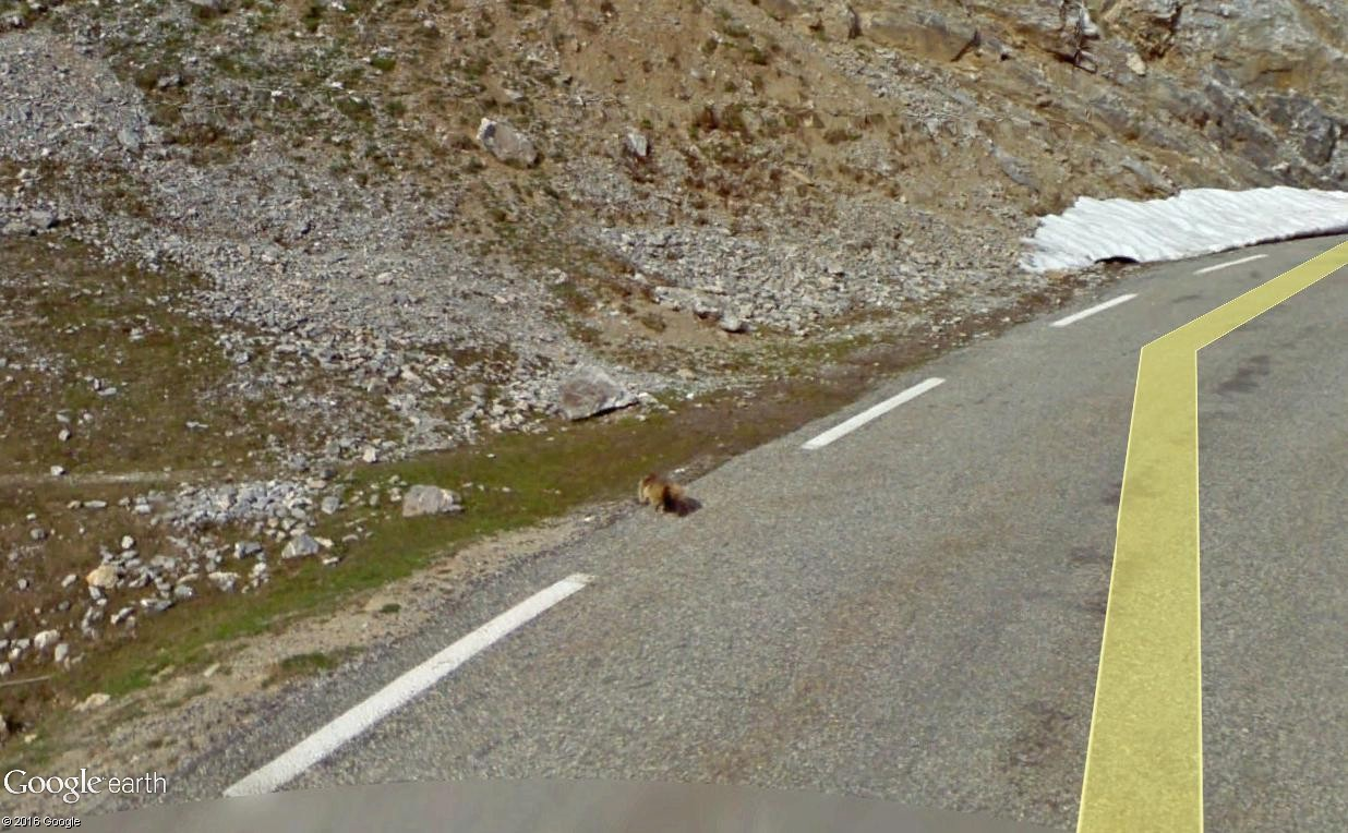 STREET VIEW : Les animaux - Page 10 Marmot11