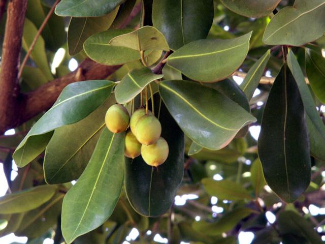 Végétation de la Réunion Pomme_10