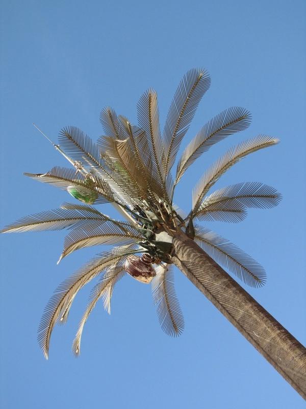 Le Hyophorbe antennus ( Palmier antenne ) à Winnie Re_20111