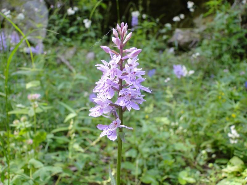 La flore en Haute Tarentaise - Page 2 Dsc00414