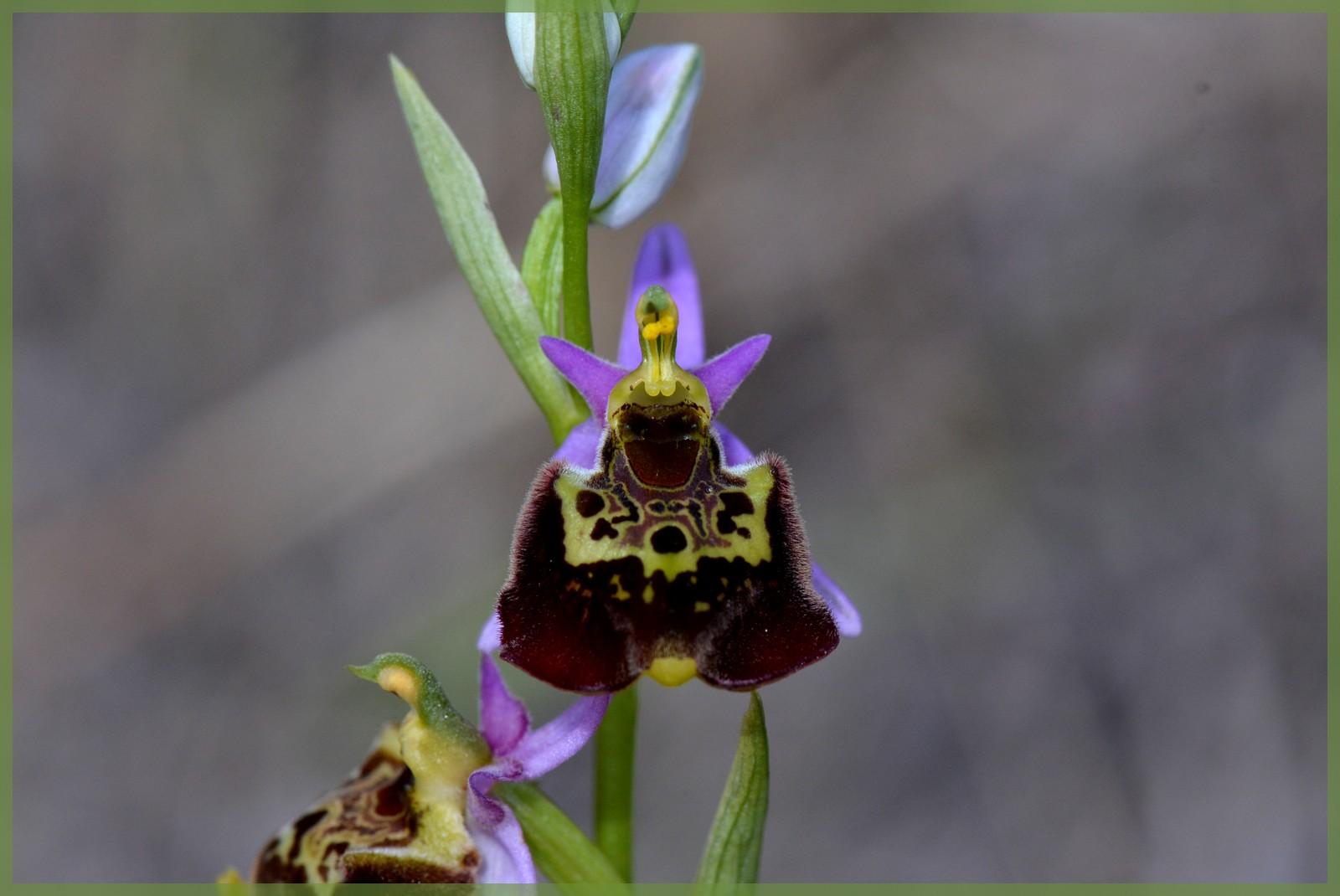 Fuciflora subsp. souchei  Dsc_1310