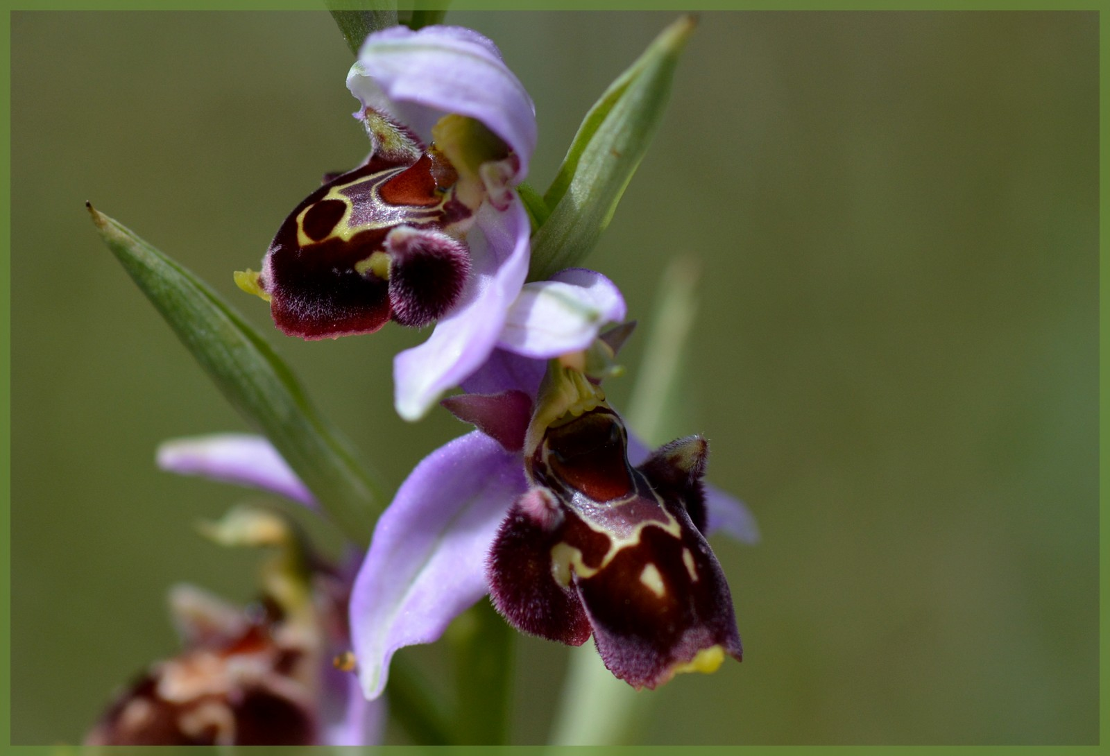 Fuciflora subsp. souchei  Dsc_1311