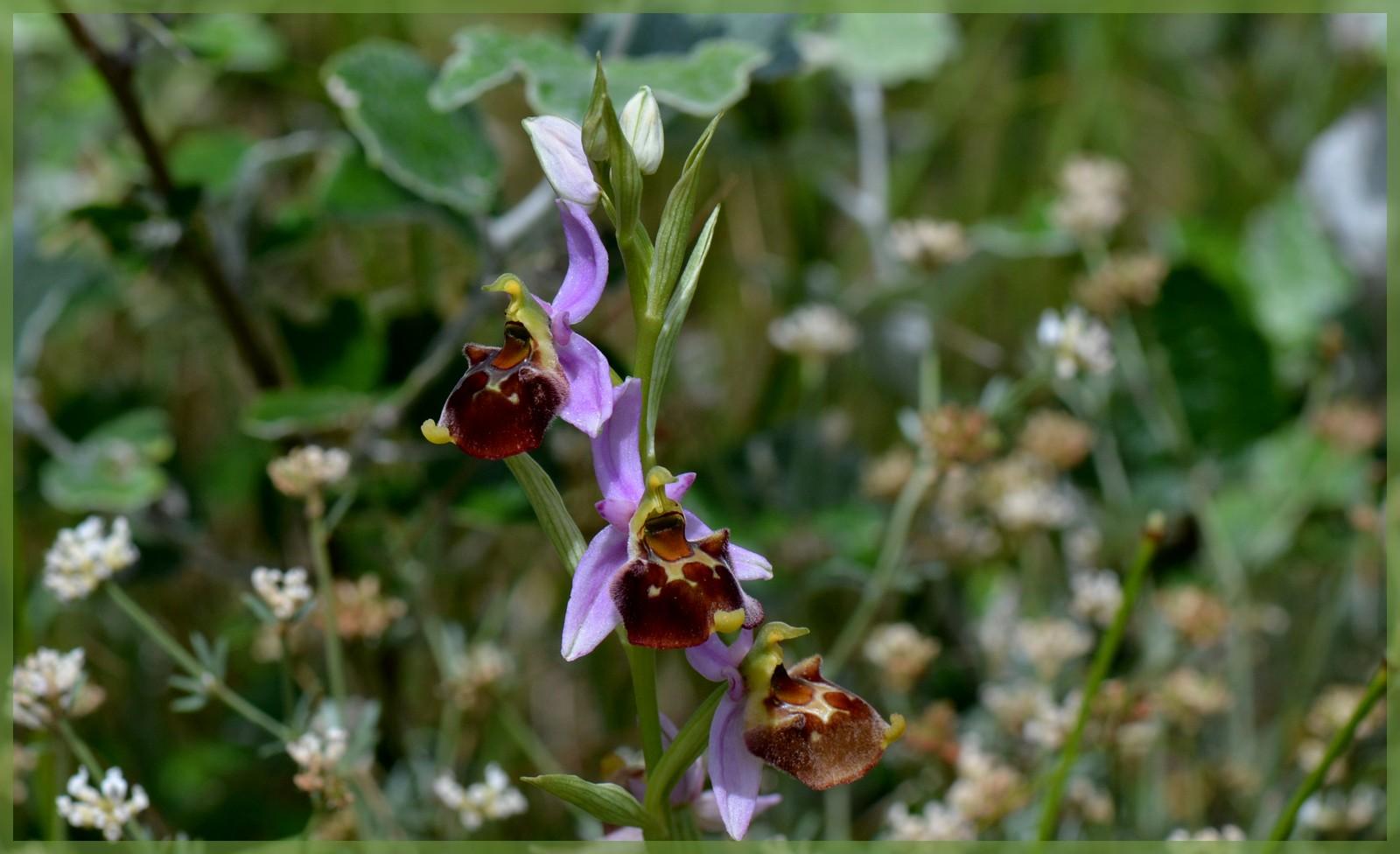 Fuciflora subsp. souchei  Dsc_1312