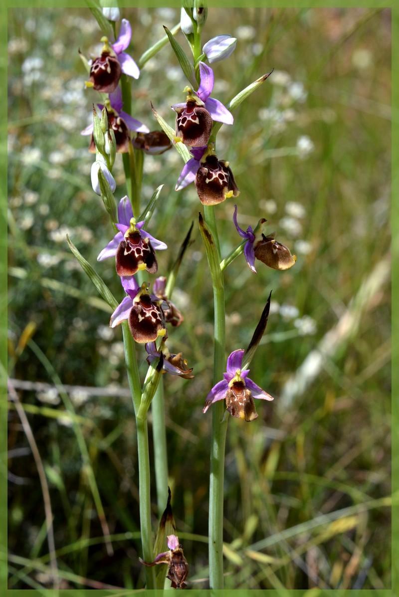 Fuciflora subsp. souchei  Dsc_1412