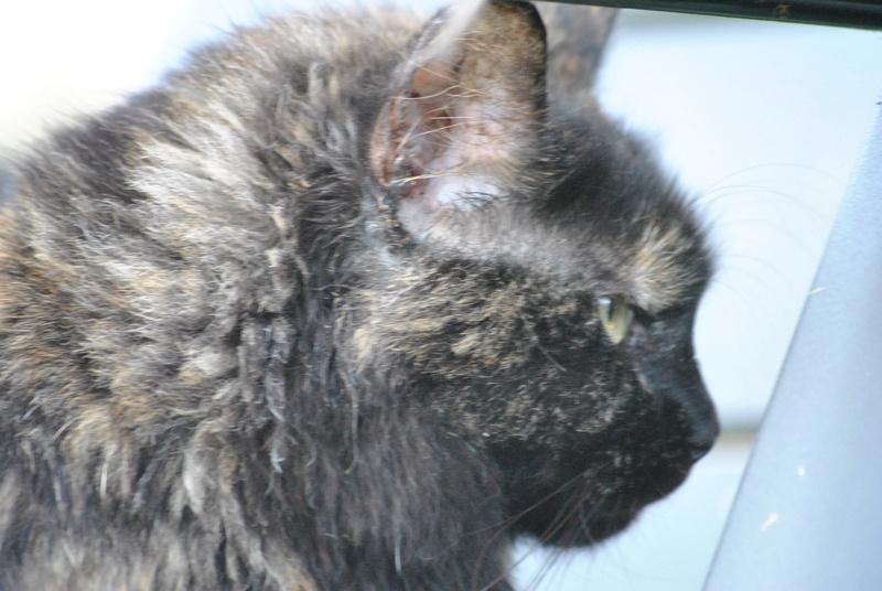 Kitty Cat, née le 1er août 2010 STATUT :CHAT LIBRE - Page 3 Dsc_0092