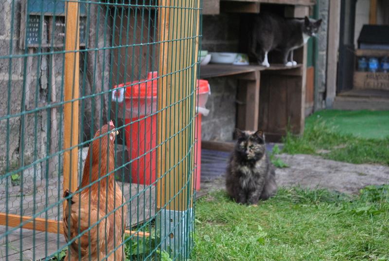 Kitty Cat, née le 1er août 2010 STATUT :CHAT LIBRE - Page 3 Dsc_0095