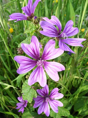Fleurs du moment - Page 14 Mauve10