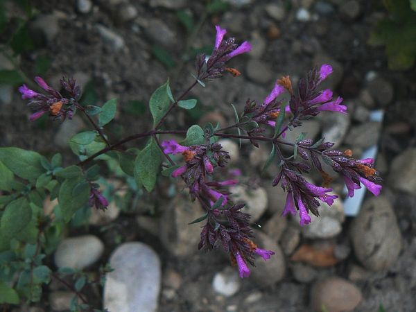 Origanum 'Kent Beauty' Origan11