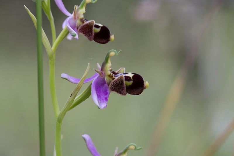 Ophrys aegirtica x apifera Hyb_ae11