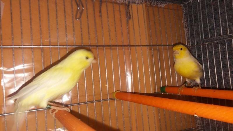 Mis Canarios Amarillos Nevado e Intensos y Pastel 110