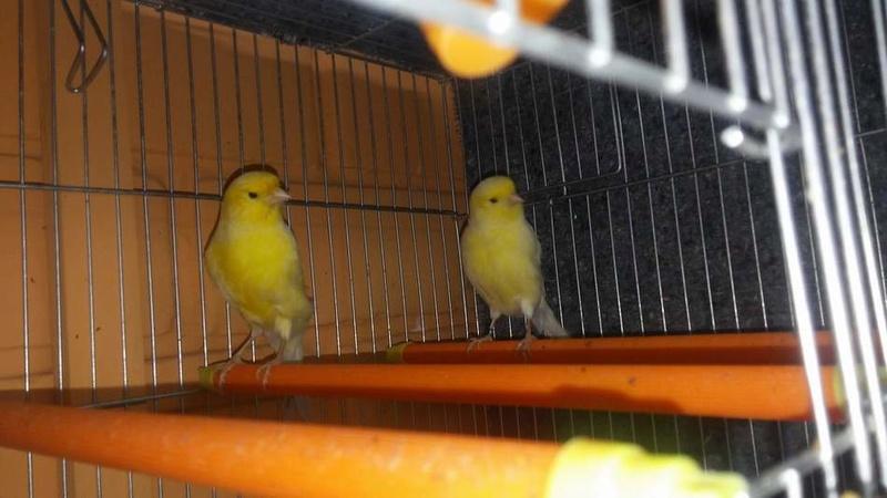 Mis Canarios Amarillos Nevado e Intensos y Pastel 410