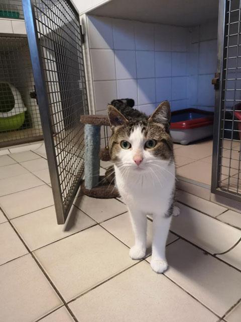 LOUSTIC (Tabby et blanc) Adopt216