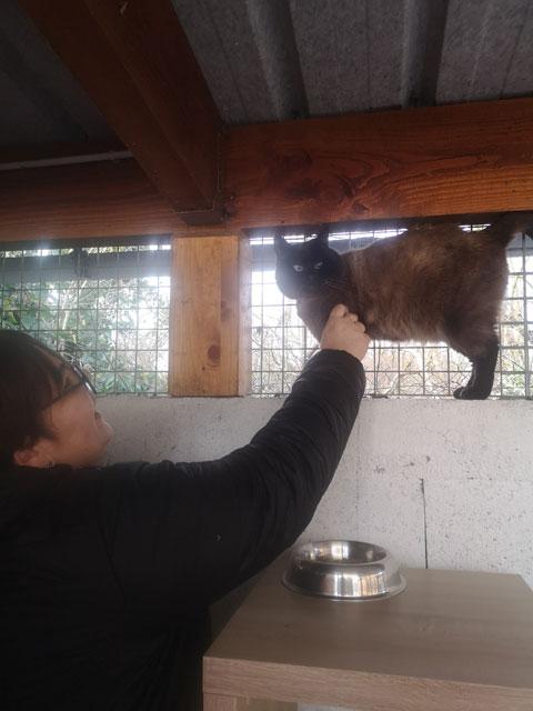 SIAMY (Siamois) Adopt457
