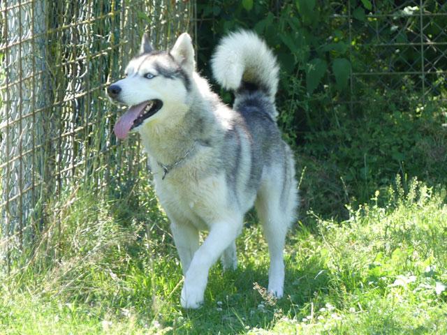AMROOK (Siberian Husky) Amrook11