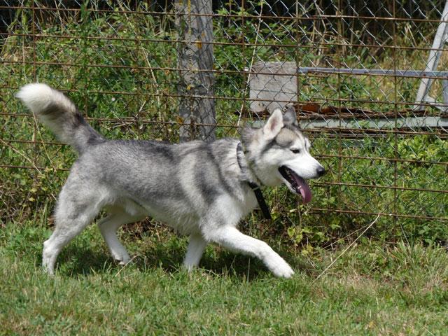 AMROOK (Siberian Husky) Amrook12