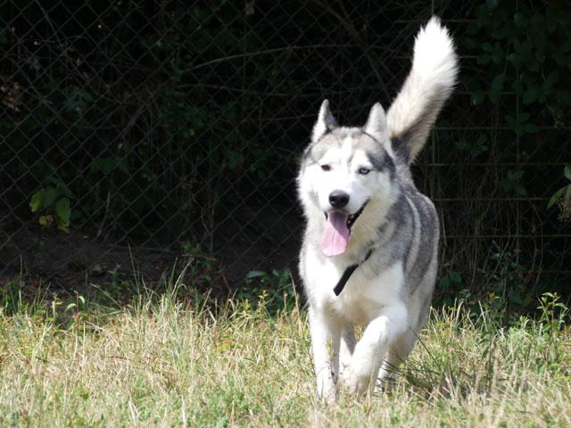 AMROOK (Siberian Husky) Amrook14