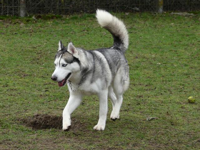 AMROOK (Siberian Husky) Amrook20