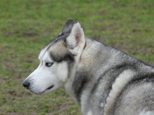 AMROOK (Siberian Husky) Amrook22