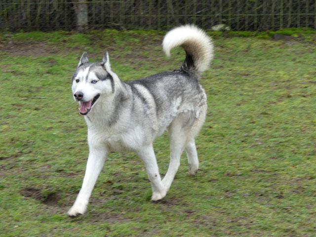 AMROOK (Siberian Husky) Amrook23
