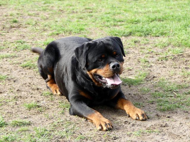 BLACK (Rottweiler) Black111