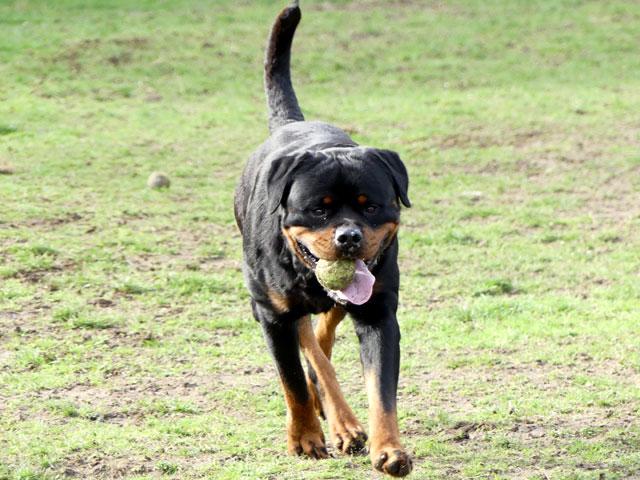 BLACK (Rottweiler) Black310