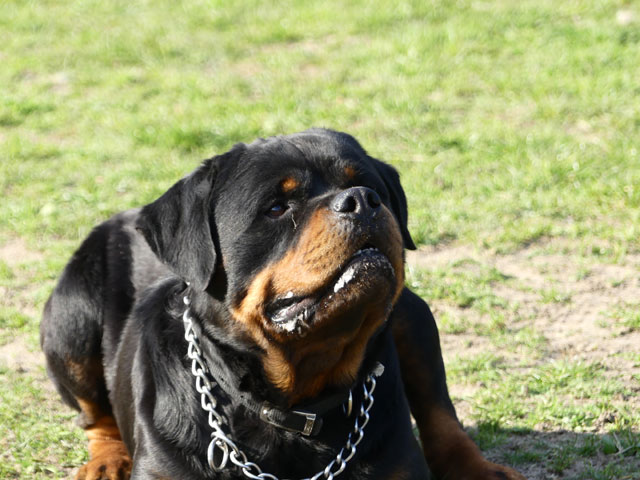 BLACK (Rottweiler) Black411