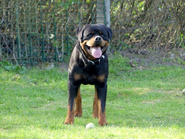 BLACK (Rottweiler) Black512
