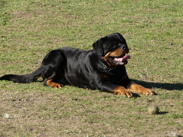 BLACK (Rottweiler) Black910