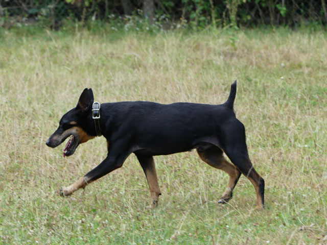 BODY (Type Jagd Terrier) - Page 6 Body212
