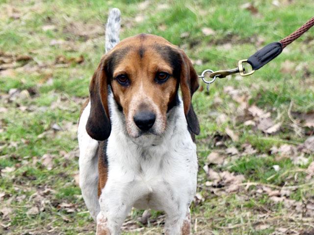 CELIO (Beagle croisé Basset) Celio210