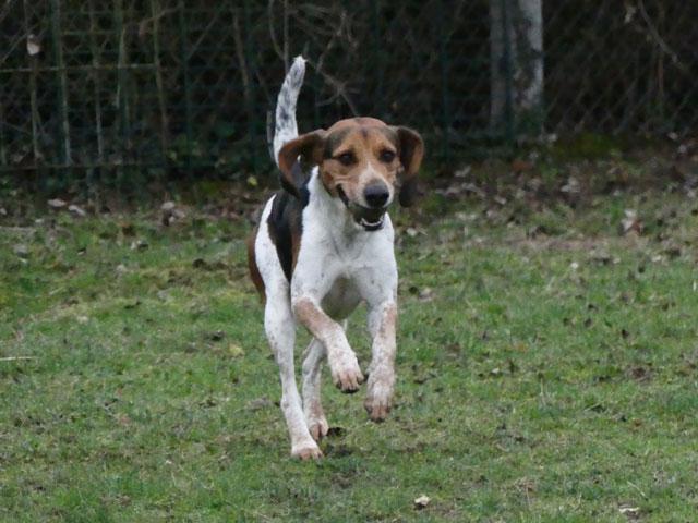 CELIO (Beagle croisé Basset) Celio810