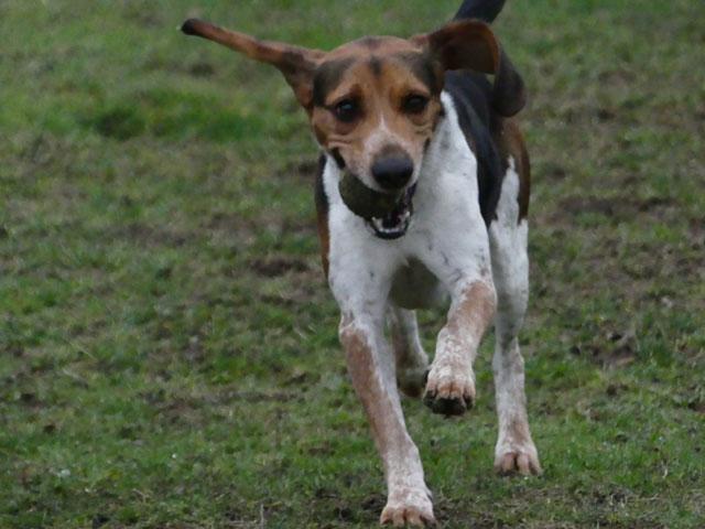 CELIO (Beagle croisé Basset) Celio910