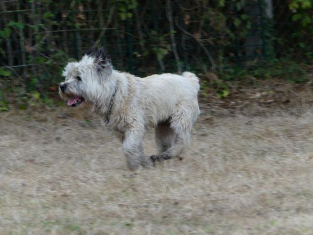 DAISY (Cairn Terrier) Daisy111