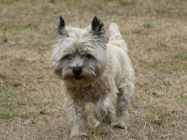 DAISY (Cairn Terrier) Daisy112