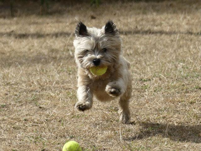 DAISY (Cairn Terrier) Daisy113