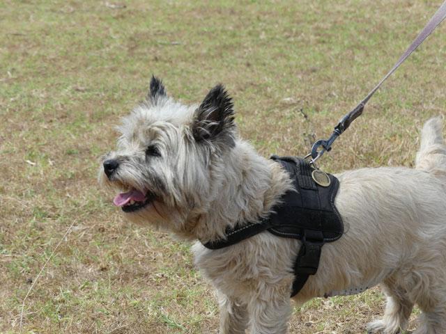 DAISY (Cairn Terrier) Daisy210