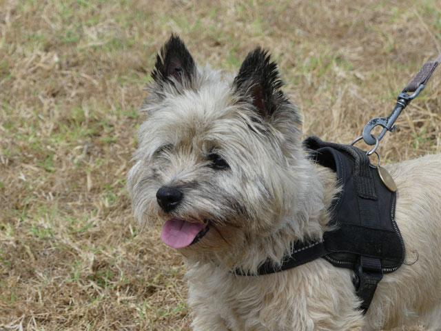 DAISY (Cairn Terrier) Daisy310