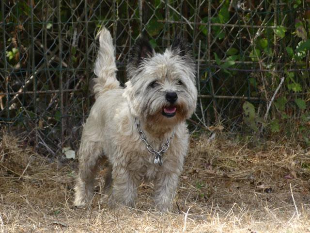 DAISY (Cairn Terrier) Daisy311