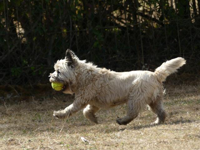 DAISY (Cairn Terrier) Daisy410