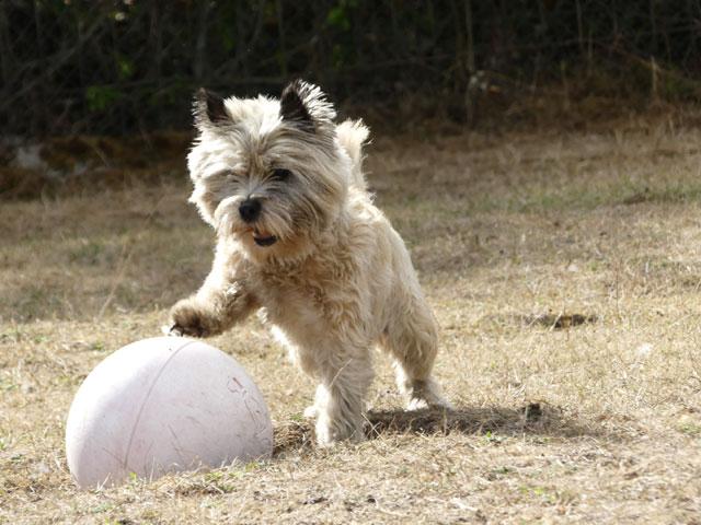 DAISY (Cairn Terrier) Daisy910