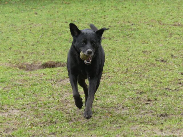 ECLYPSE (Labrador) Eclyps17
