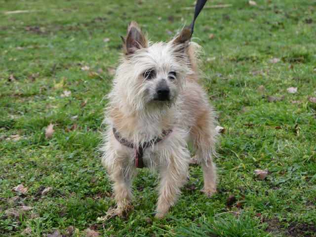 ESTON (Yorkshire Terrier) Eston110