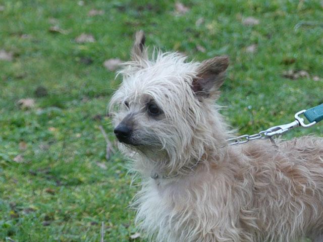 ESTON (Yorkshire Terrier) Eston510