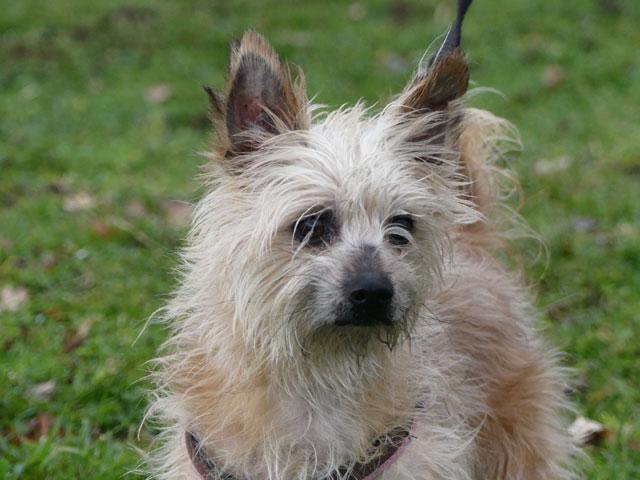 ESTON (Yorkshire Terrier) Eston610