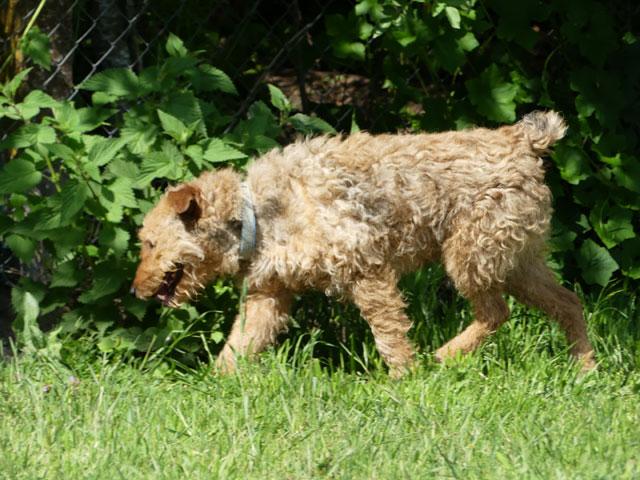 FALCO (Fox Terrier) Falco211